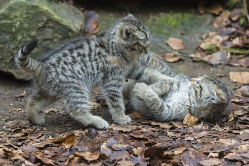 Germany, Bavarian Forest National Park, animal Open-air site Neuschoenau, wild cat, Felis silvestris, young animals playing - FOF09877