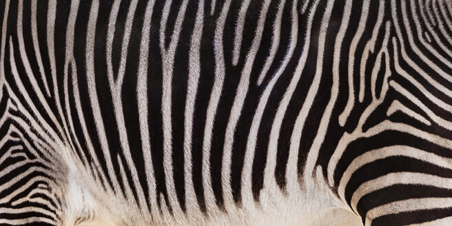 Grevyi zebra, partial view - WDF04467