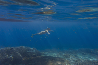 Woman with fins and snorkel diving under water - KNTF01023