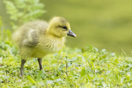 Gosling of Canada goose on a meadow - FOF09893