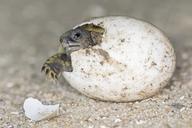 Hermann's tortoise, Testudo hermanni, hatching - FOF09896