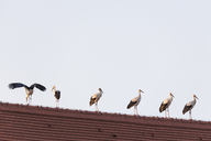 Germany, Bavaria, Markt Schwaben, white storks on church roof - FOF09899