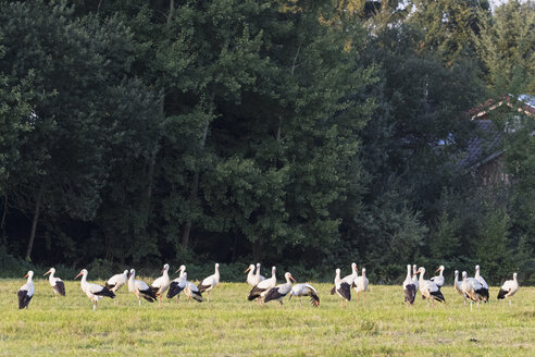 Germany, Bavaria, Markt Schwaben, white storks on meadow - FOF09902