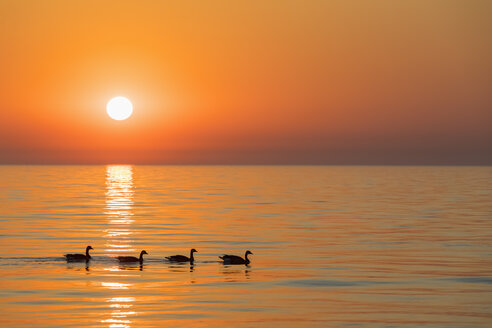 USA, Illinois, Chicago, Lake Michigan, canada geese at sunrise - FOF09951