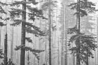 Snow covered trees - CAIF00430