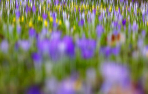Germany, crocuses and winter aconites, blurred - JTF00941