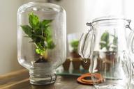 Coffee plant inside preserving jar - LAF01968