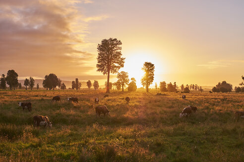 New Zealand, South Island, Westland National Park, cows on meadow at sunset - MRF01797