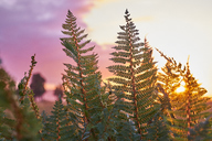 New Zealand, South Island, Westland National Park, fern at sunset - MRF01800