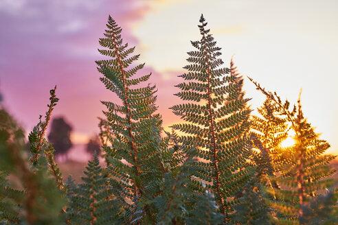 New Zealand, South Island, Westland National Park, fern at sunset - MRF01800