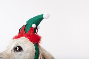 Close up of dog wearing Christmas hat - CAIF01678