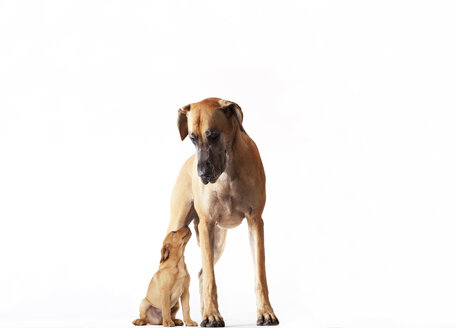 Mother dog standing with puppy - CAIF01681