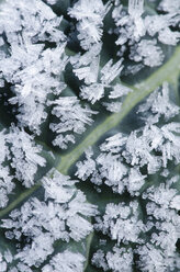 Close up of frost crystals on dinosaur kale leaf - CAIF02126