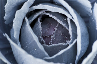 Close up of frosty cabbage plant - CAIF02129