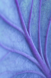 Close up of veins in cabbage leaf - CAIF02132