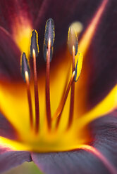 Close up of day lily - CAIF02135
