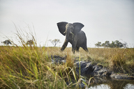 Namibia, Caprivi, cow elephant in defensive attitude - CVF00217