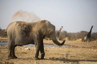 Africa, Namibia, Etosha National Park, african elephant, Loxodonta africana, young animal, dust bath - CVF00220
