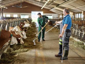 Farmer on crutches guiding man feeding cows in stable on a farm - CVF00259