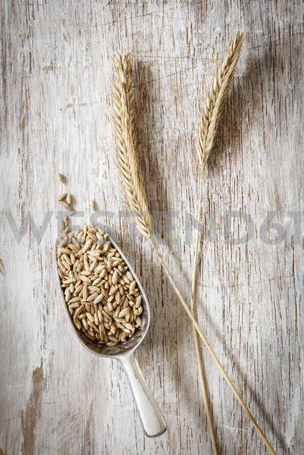 Two rye spikes and shovel of rye grains - EVGF03282