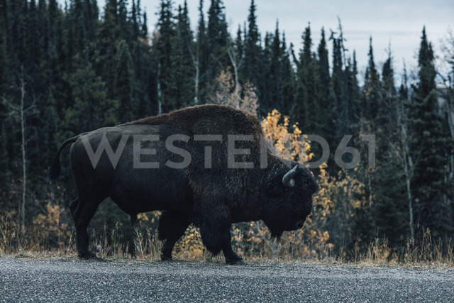 Canada, British Columbia, Northern Rockies, Alaska Highway, bison walking at the road - GUSF00368 - Gustafsson/Westend61