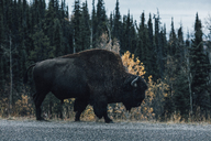 Canada, British Columbia, Northern Rockies, Alaska Highway, bison walking at the road - GUSF00368