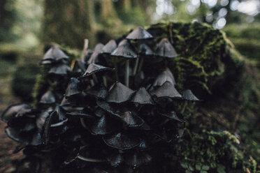 Canada, British Columbia, Cape Scott Provincial Park, wild mushrooms - GUSF00401
