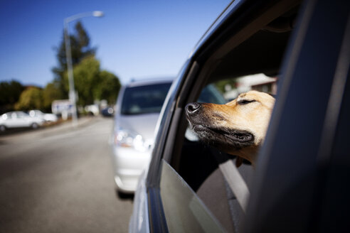 Dog relaxing in car on sunny day - CAVF00174