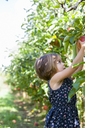 Girl picking apple from apple tree in orchard - CAIF05456
