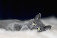 Portrait of Chartreux kitten lying on fur - FOF09968