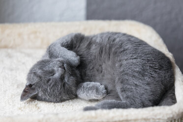Sleeping Chartreux kitten - FOF09971