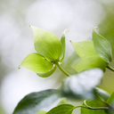 Close up of fresh green leaves on dogwood tree - CAIF07601