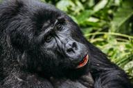 Close up of gorilla, Bwindi Impenetrable National Park, Uganda - CAIF07619