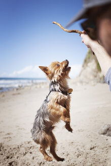 Cropped image of man playing with Yorkshire terrier at beach - CAVF01873