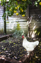 Hen below lemon tree against wooden wall - CAVF02809