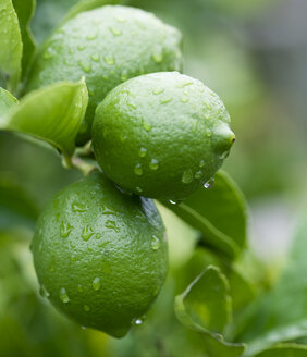 Close up of water droplets on green lemons - CAIF08545