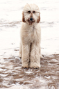Portrait of Poodle on snow covered field - CAVF04319