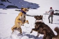 Dogs playing while man standing at snow covered field - CAVF04385