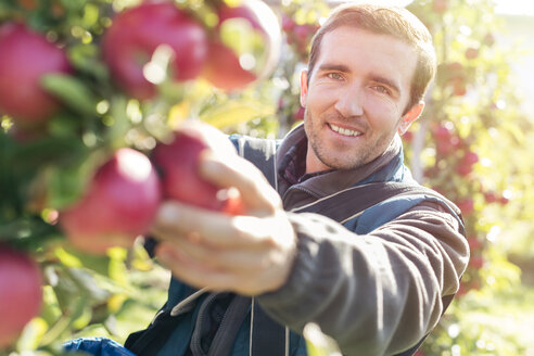 Portrait smiling male farmer harvesting ripe red apples in sunny orchard - CAIF09944
