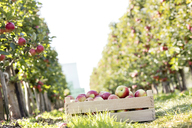 Crate of red apples in sunny orchard - CAIF09953