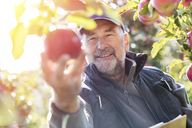 Smiling male farmer harvesting apples in sunny orchard - CAIF09983