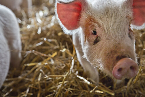 Close-up of pig standing in farm - CAVF05375