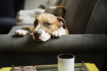 Portrait of dog lying on sofa at home - CAVF05629