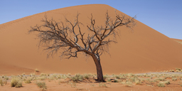 View of bare tree, dry grass and sand dune in sunny desert - CAIF14538