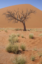 View of bare tree, grass, sand dune and blue sky in sunny desert - CAIF14544