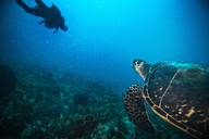 Man scuba diving with sea turtle swimming in water - CAVF06514