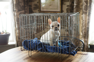 Portrait of French bulldog sitting in cage - CAVF08791