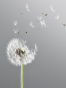 Close up of dandelion plant blowing in wind - CAIF17007