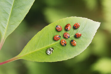 Unique ladybug standing out from the crowd on leaf - CAIF17799