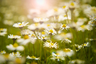 Close up of daisies in meadow - CAIF18084